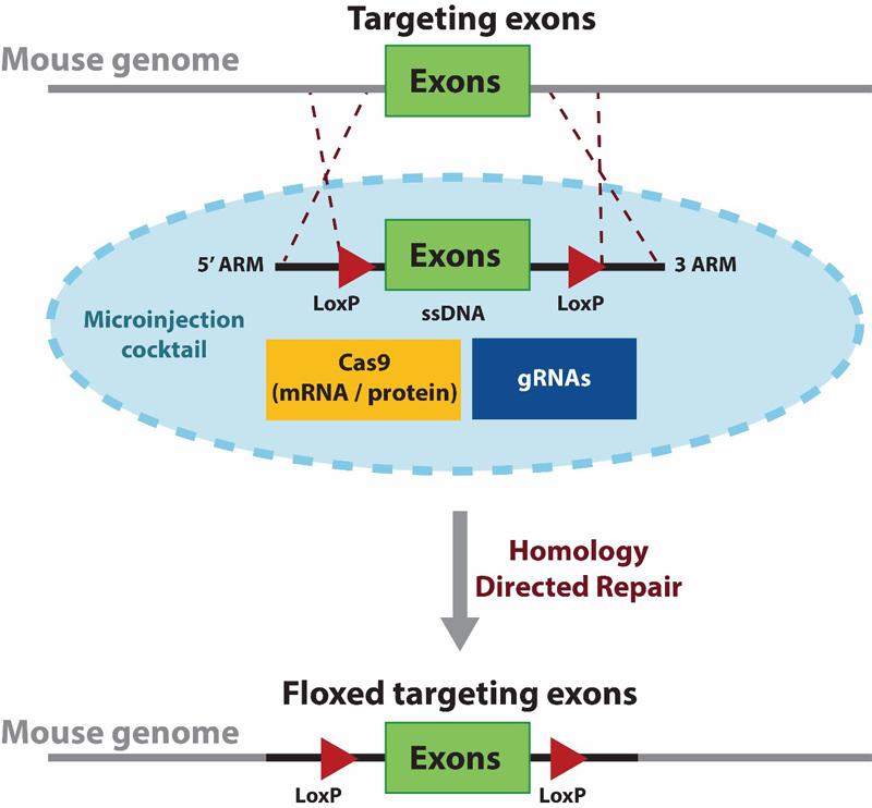 SCHEMATIC-CRISPR-CKO-mouse-1