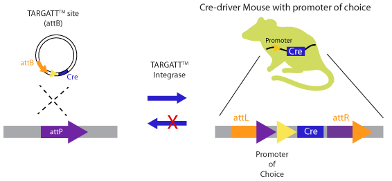 knock in mice engineering of a Cre-driver mouse model